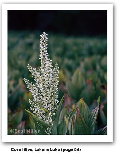 Corn lilies, Lukens Lake photograph by Scot Miller, from My First Summer in the Sierra: 100th Anniversary Illustrated Edition